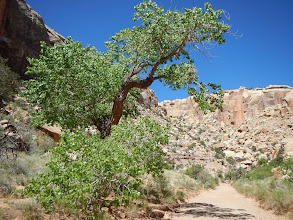 Photo: Cottonwood trees sprung up throughout the canyon