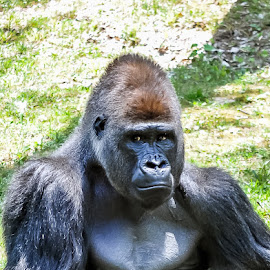 deep thought by Darrin Ralph - Animals Other ( gorilla, fur, ape, black, zoo )