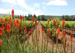 Photo: Kenwood Vineyards