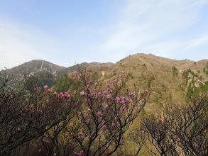 ハライド西斜面のアカヤシオ