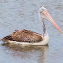 spot-billed pelican, grey pelican