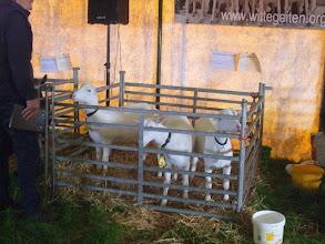 Photo: Witte geiten.