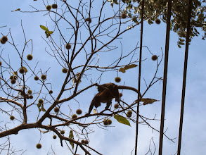 Photo: Howler monkey crossing the road on a monkey comb tree