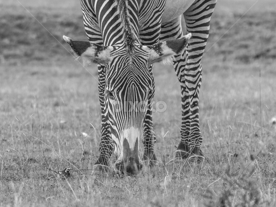 The zebra and the wagtail by Garry Chisholm - Black & White Animals ( zebra, wagtail, nature, mammal, bird, garry chisholm )