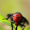 Red-headed Fly