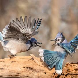 Blue Jays Fighting 9759 by Carl Albro - Animals Birds ( blue jay, bird, fighting, birds, wildlife )