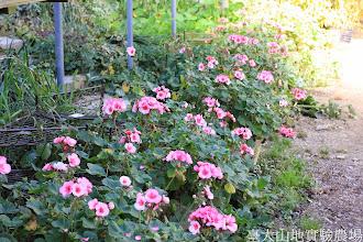 Photo: 拍攝地點: 梅峰-溫帶花卉區 拍攝植物: 天竺葵 拍攝日期: 2014_11_25_FY