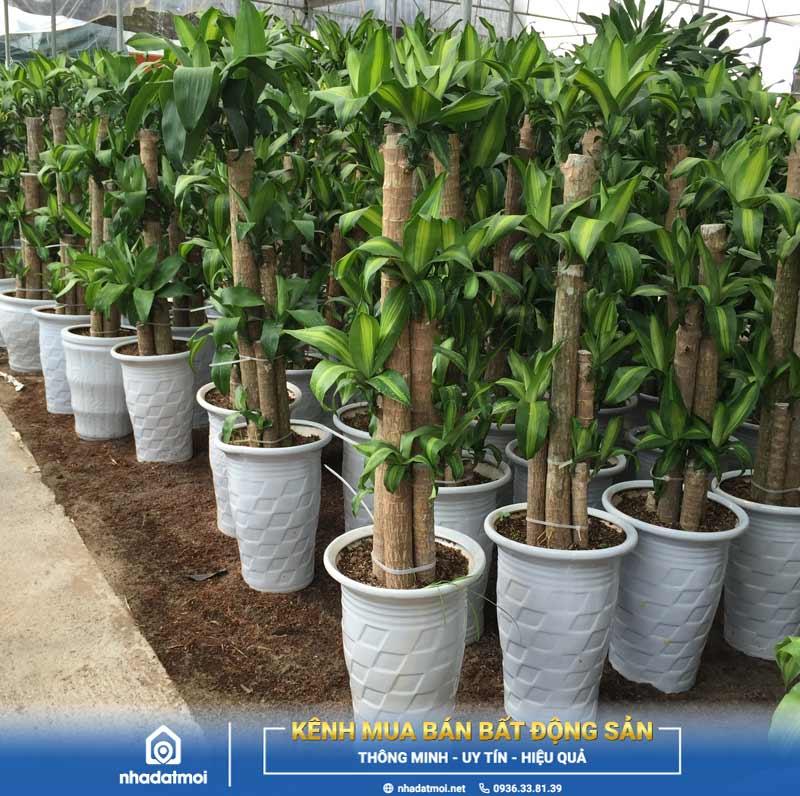 mệnh thủy nên trồng cây gì trước nhà