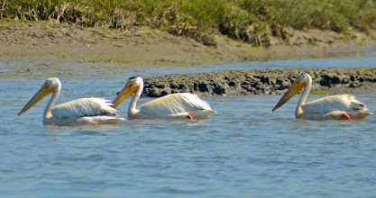 Photo: 138. I don't believe I had ever seen white pelicans before that day .. very nice!