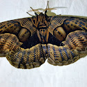 Grey Brahmid Moth