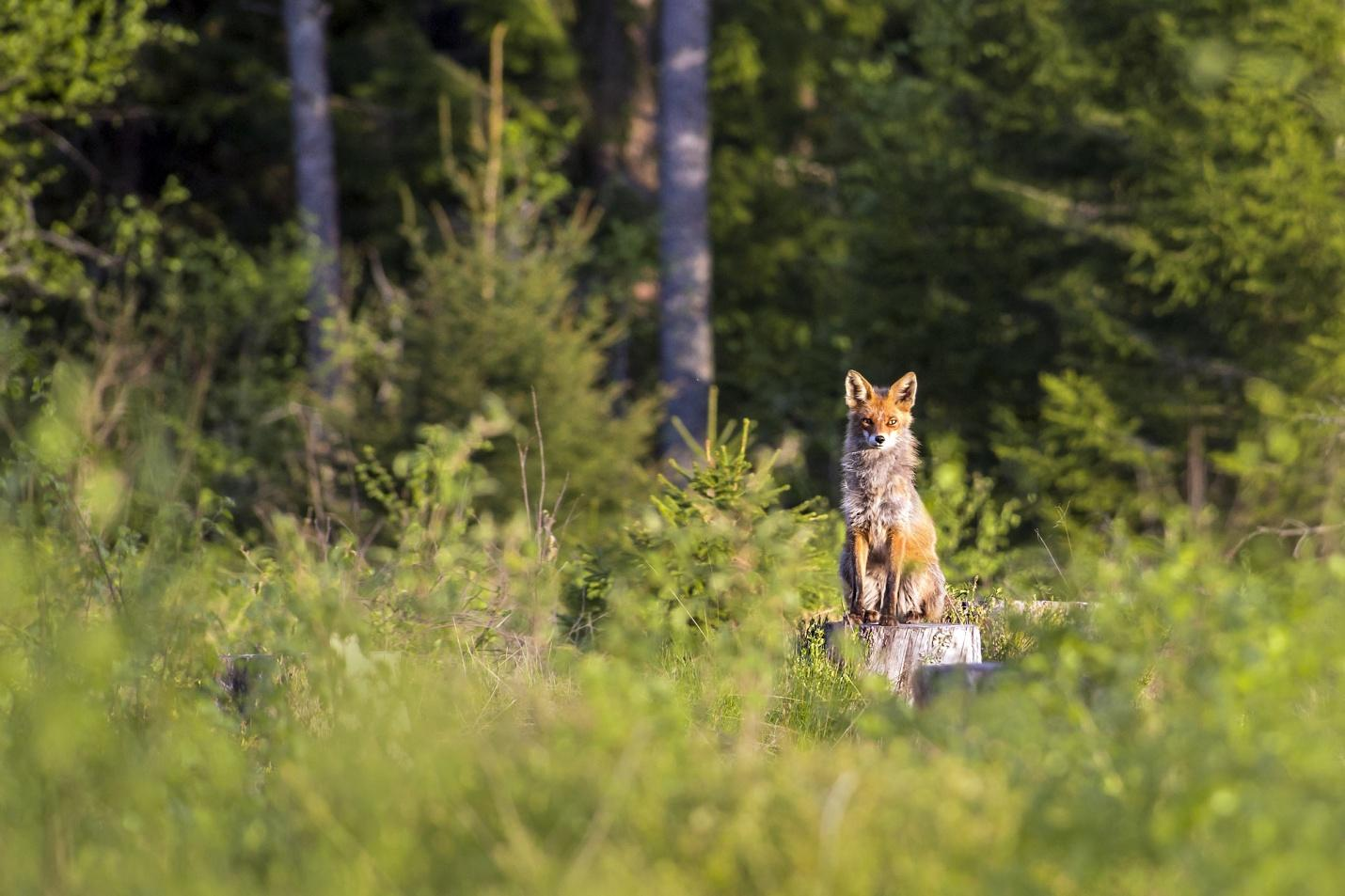 red-fox-4808560_1920.jpg