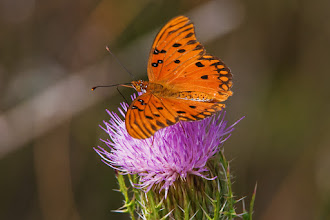 Photo: Bright orange butterfly (Gulf Fritillary; Agraulis vanillae ) on thistle
