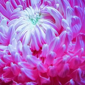 Flower Macro  by Abdul Salim - Flowers Single Flower