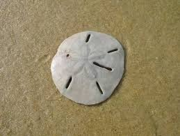 Free sand dollar Images, Pictures, and Royalty-Free Stock Photos -  FreeImages.com