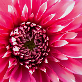In Pink by Ajay Halder - Nature Up Close Flowers - 2011-2013 (  )