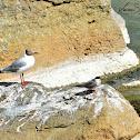Gull  -  Brown-headed Gull
