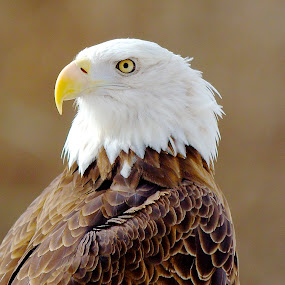 Majestic Eagle by Kimberly Davidson - Animals Birds ( pwct tagged birds, eagles, raptors,  )