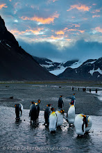 Photo: King penguin colony, Right Whale Bay, South Georgia Island.  Over 100,000 pairs of king penguins nest on South Georgia Island each summer.