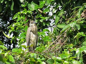 Photo: imm. Yellow-crowned Night-heron