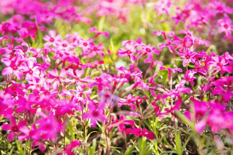 pink-wild-phlox