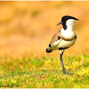 The river lapwing  by Vijay Singh Chandel - Animals Birds ( picture, picoftheday, bestoftheday, pixoto, birds, animal, river )