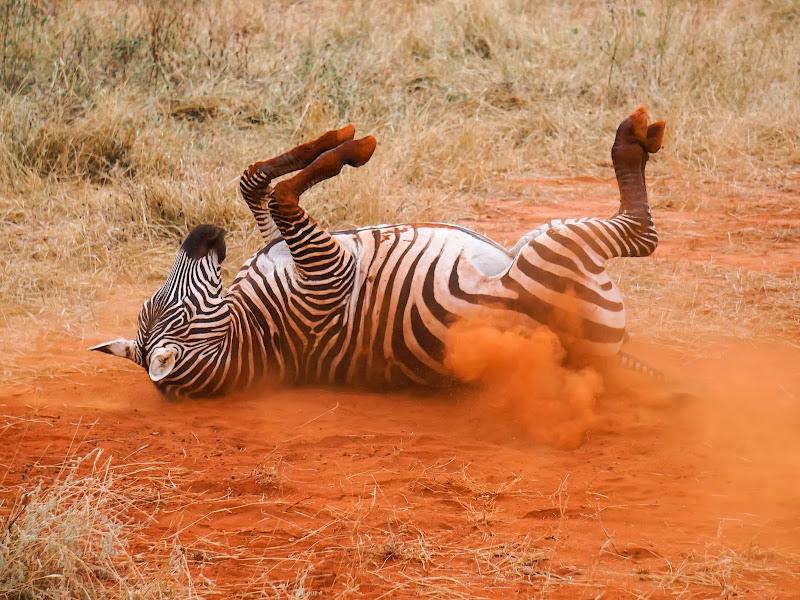 The zebra's joke di MonnyG