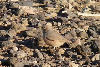 Photo: Allodola del deserto - Ammomanes deserti - Desert Lark