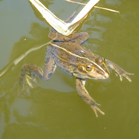 A frog makes a getaway by Allanah Faherty - Animals Amphibians ( water, frog, pond )