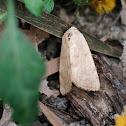moth 蛾