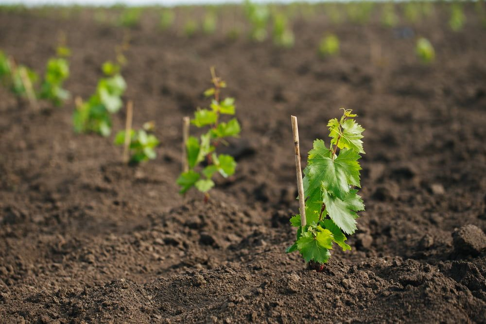 Wine grapes growing in ground