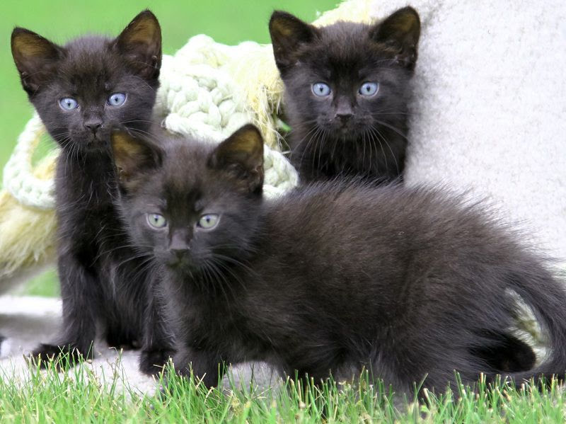 Bombay cat price range. Bombay cost? Where to buy Bombay kittens?