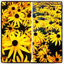 Photo: A field with yellow flowers in the neighbourhood #intercer #flower #flowers #beautiful #petal #petals #green #yellow #blossom #nature #plant #plants #color #colour #pretty #garden #stem #flora #flor #flores #fiori #instanature - via Instagram, http://instagr.am/p/PDEqJ0Jfpt/