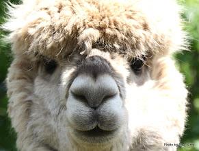 Photo: (Year 2) Day 334 - A Beautiful Alpaca #2