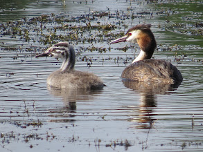 Photo: 26 Jul 13 Priorslee Lake: Looking for daddy Great Crested Grebe? (Ed Wilson)