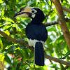 Oriental Pied Hornbill female