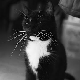 Sitting pretty by Donna Lane - Animals - Cats Portraits ( cat, sitting, whiskers, indoors, pretty, kitty, portrait,  )