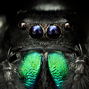 °oo° by Tomáš Celar - Animals Insects & Spiders ( canon, tomáš, regius, macro, celar, green, phidippus, chelicerae, black )