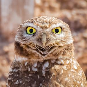 Burrowing Owl-47.jpg