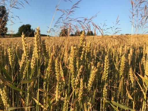 Rolnicy osuszy: Pszenica schnie napniu, kukurydza zwinięta w...