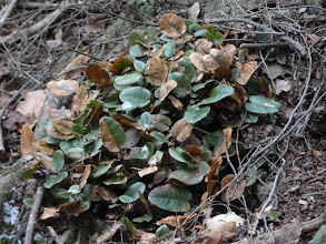 Photo: Trailing arbutus (Epigaea repens)