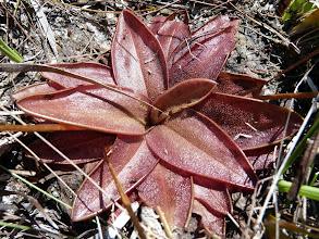 "Photo: Pinguicula planifolia ""giant"" near Sumatra (Florida Panhandle)."