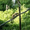 Red squirrel (σκίουρος)