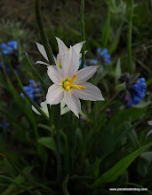 Photo: Lilies and Bluebells, Steens Mountain