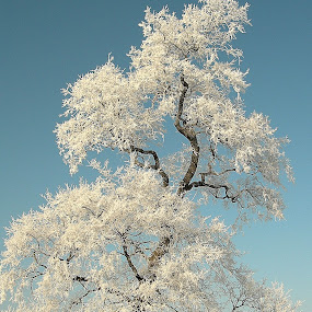 by Kristina Nutautiene - Nature Up Close Trees & Bushes ( winter cold tree rime,  )