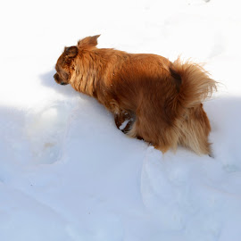 Snow, sow and snow in this park by Rose Smith - Animals - Dogs Playing ( that, in, snow, indeed, park )