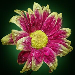 P1221594-Chrysanthemum.jpg