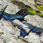 Alpine Black Swallowtail