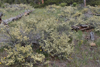 Photo: Bitterbrush (antelopebrush) in bloom everywhere--the most common shrub.