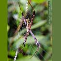 Grass Cross Spider