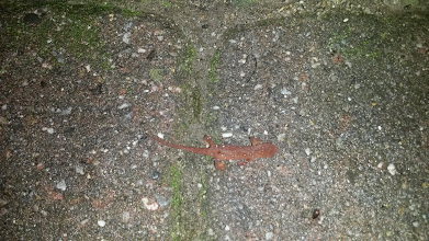 Photo: Newt!  Love these little guys..  all the lizards we get around Phoenix are bland and beige...